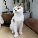 Шотландские котятки, Новосибирск