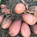 Деревенский картофель. Доставка бесплатно, Новосибирск