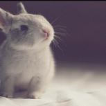 Возьму в  дар или за небольшую плату кролика или морскую свинку, Новосибирск