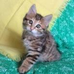 Породистые котята курильский бобтейл, Новосибирск