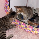Продам породистых котят курильского бобтейла, Новосибирск
