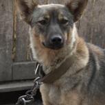 Красавица щенок Троя, Новосибирск