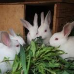 Крольчата калифорнийские, Новосибирск