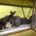 """Продам кроликов """"Серебро"""" и """"Калифорнийцы"""", Новосибирск"""