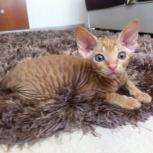 Рыжка-малышка канадский сфинкс котенок, Новосибирск