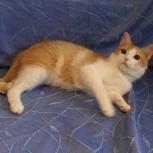 Мурзилка -солнечный котик 9-10 месяцев, Новосибирск
