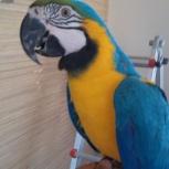 Продам попугая Ара, Новосибирск