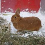 кролик НЗК на племя, Новосибирск