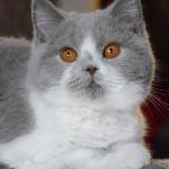 Британские молодые котики биколорных окрасов, Новосибирск