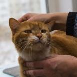 Фома – крупный бело-рыжий красавец-кот! Ласковый и душевный компаньон., Новосибирск