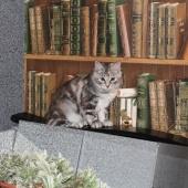 КУКЛА - рекомендована в семью с детьми, продам кошку, Новосибирск