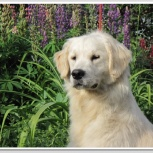 Продам собаку Голден Ретривера, Новосибирск