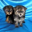 Йорки щенки, Новосибирск