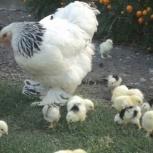 Продам цыплят Брама, Кохинхин, Новосибирск
