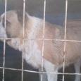 алабай Бим ищет дом! Собака, Новосибирск