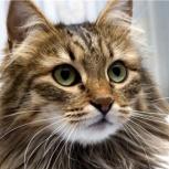 Кошки 4 года (не уживаются с собакой) или коту 3 года, - в хор. руки, Новосибирск