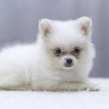 Белоснежный мальчик, продам собаку, Новосибирск