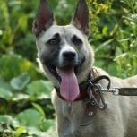 Небольшая красивая собачка с прекрасными охранными качествами, Новосибирск