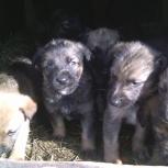 щенки помесь овчарки бесплатно, Новосибирск