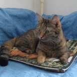 Кошка Жасмин, 1,5 года стеризованная, Новосибирск