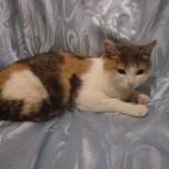 Трехцветная кошка Муся, Новосибирск
