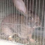 продам крольчат мясной породы Фландер, Новосибирск