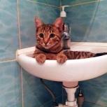 Бенгальский кот, Новосибирск