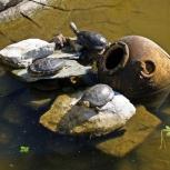 Большие черепахи, Новосибирск
