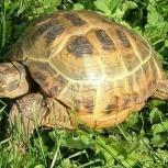 Продам черепаху, Новосибирск