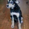 Бесплатно отдам щенка лучшему хозяину в мире, Новосибирск