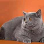 Британский кот приглашает на вязку, Новосибирск