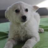 Беленькая щенок-девочка Белка, ок. 2,5 месяца, Новосибирск
