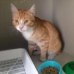 Кот Левушка нуждается в семье, (меньше года), Новосибирск