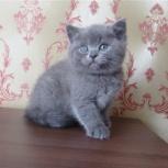 Британские котята, мальчик и девочка, Новосибирск