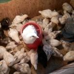 Продам цыплят, Новосибирск