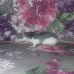 Продам крысенка Харли(девочка)3 месяца, Новосибирск