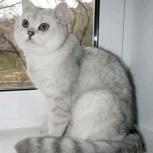Британский кот для вязок, Новосибирск