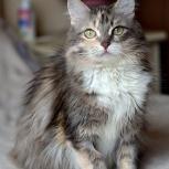 Кошка дама, стерилизована (  возможно в частный дом), Новосибирск