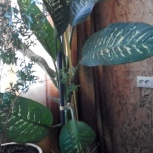 полезное растение-ДИФФЕНБАХИЯ вместе с горшком, Новосибирск