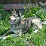 Красивая, добрая, ласковая собака по имени Ронда, Новосибирск