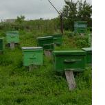 продаю пчел, Новосибирск