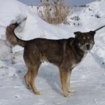 Серьезный пес Серый на охрану вашего дома., Новосибирск