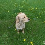 Ищем собаку, кличка Ляля,возраст 5 лет., Новосибирск