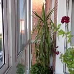 """Большой цветок """"Юкка"""" для дома и офиса, Новосибирск"""