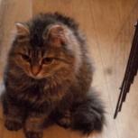 Дэйзи, кошка похожая на сибирскую, Новосибирск
