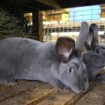 Кролики Рекс, Новосибирск