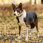 Меня зовут Шейла, и я ищу друга! Собака, Новосибирск