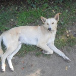 Молодой пес для квартиры и частного дома, Новосибирск