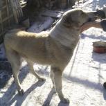 Найдена собака алабай, девочка, Новосибирск