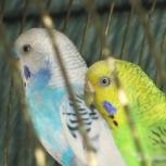 Волнистые попугаи с клеткой, Новосибирск